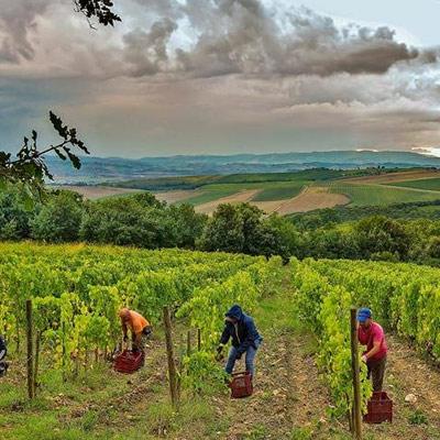 människor skördar vin
