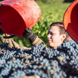 Den italienska vinskörden 2020