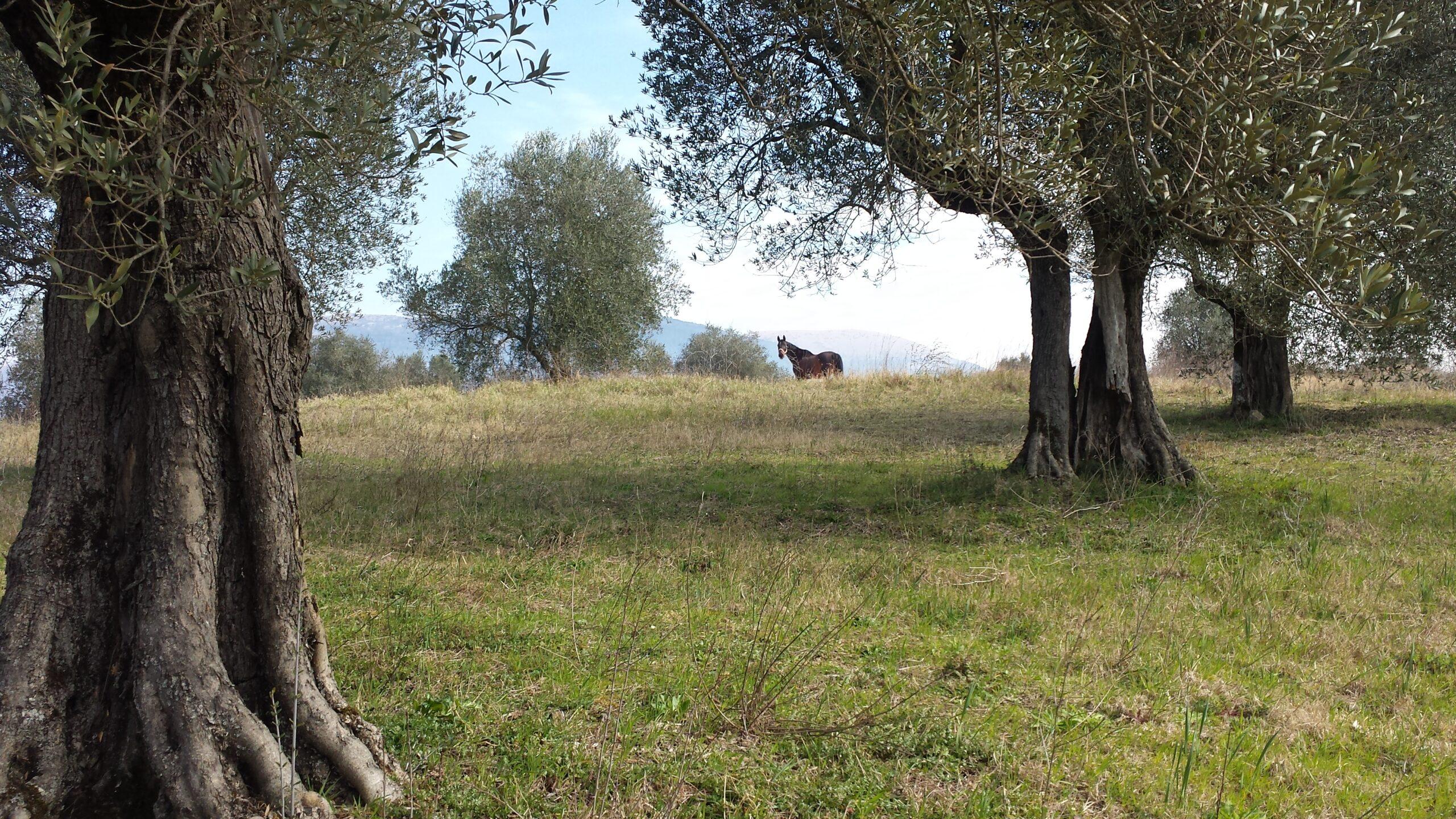Novellon - häst bland olivträd